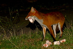 Last time I saw a mouth this wide it was on a snake (Tyrone Williams) Tags: nightphotography red cute nature animal female night cub high lowlight nocturnal darkness natural feeding wildlife flash iso fox 7d feed foxes 580ex alert vixen scavenger highiso 400iso nightexposure 70200mm redfox scavenging agile flashsync 70200l canon70200lf4 bbcwales canon580ex 2013 wildfox canonef70200mmf4lusm canon70200f4usm canonef70200lf4usm isnight goldwildlife bbcwalesnature canon7d bbcnature canon70200lf4usm canon70200lf4nonis canonef70200lf4nonis canonef70200lnonis canonef70200lf4usmnonis canonef70200lusmf4nonis wildanimalwild feedingfoxes foxscavengernight scavengernight