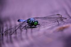 Tickfaw State Park (Visual Memories by Jackie) Tags: louisiana dragonflies cypress tickfawstatepark