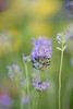 Lavender (haberlea) Tags: flowers plants flower green nature yellow garden purple lavender mygarden masterphotos
