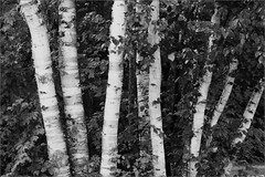 Birches (joeldinda) Tags: statepark trees bw raw michigan campground birches d300 cheboygan joeldinda