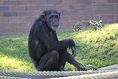 18-08-2013-zoo 537 (tdierikx) Tags: chimpanzee taronga tarongazoo shona 18082013zoo tdierikx