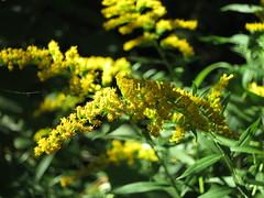 IMG_0875 (andre vautour) Tags: favorite plants plant macro nature yellow blog published andrevautour