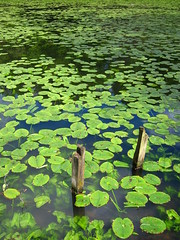 Water Lily Pond (ambo333) Tags: uk england lake pond waterlily lily lilies waterlilies cumbria