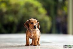 Cara de malo.- (Pablin79) Tags: dog pet animal digital canon eos reflex dof bokeh dachshund 5d dackel pipa teckel posadas markii doxie canoneos5dmarkii 5dmkii pabloreinschphotography