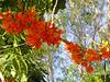 030 Castanospermum australe (Moreton Bay Chestnut or Blackbean) (Jen 64) Tags: flowers trees australia brisbane queensland blackbean fabaceae castanospermumaustrale moretonbaychestnut 2013 kalingapark castanospermum arfp nswrfp qrfp olympussp590uz arfflowers orangearfflowers tropicalarf subtropicalarf