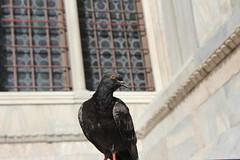 The Pigeon (Been Around) Tags: italien venice italy oktober october europa europe italia travellers eu ita venise venezia venedig ven europeanunion italie veneto 2013 venetien concordians thisphotorocks expressyourselfaward