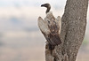 The morning after the night before! (Rainbirder) Tags: kenya maasaimara whitebackedvulture gypsafricanus rainbirder