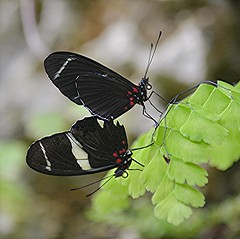 Pair of Heliconius antiochus are mating on green fern (jungle mama) Tags: ngc fairchildgarden fairchildtropicalbotanicgarden heliconius specanimal longwingbutterfly heliconiusantiochus heliconianbutterfly coth5 mygearandme mygearandmepremium wingsofthetropics