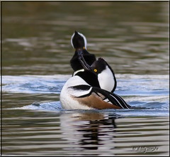 'yea, I like that one' (d-lilly ~ on and off for awhile) Tags: male ngc marincounty hoodedmerganser slicesoftime blinkagain blinksuperstars lagoon2013