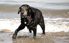 soaked thru (tuts75) Tags: portrait dog black beach wet labrador