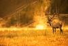 Yellowstone Dawn (Photography by Steven Frudak) Tags: autumn mist fall sunrise river cow montana places bull sillouette wyoming elk geyser westthumb d800 yellowstonenp buglingelk stevenfrudak wyoming910 wwwstevenfrudakcom autumn2013