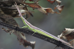 Toothpick Grasshopper (Leptysma) (Maxwel Rocha) Tags: brazil macro nature animal closeup brasil canon bug insect flickr natureza inseto animais macrophotography macrofotografia mpe 65mm mpe65mm 600d canon100mm maxwelrocha vision:sky=0508 naturallightmaco