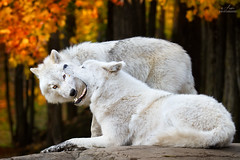 Dental Exam (Ania.Photography) Tags: autumn canada fall nature animal closeup mammal photography wolf wildlife fulllength canine arctic change colorimage arcticwolf dentalexam animalbehavior dentalcheckup specanimal specanimalphotooftheday thephotographyblog