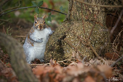 Lean (Jchales.co.uk) Tags: park winter orange lake green animals squirrel squirrels colours sunday meadows overcast friendly essex catchy dull tame diffuser billericay oncamera strobist flickrexportdemo 580exii canonef70200mmf28lisiiusm jchalescouk