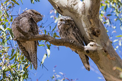 Tawnies Mum and Dad 2014-01-21 (_MG_3274) (ajhaysom) Tags: australia melbourne australianbirds tawnyfrogmouth podargusstrigoides greenvale woodlandshistoricpark