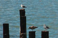 Richmond CA herring run_021 (Walt Barnes) Tags: bird nature canon eos scenery wildlife gulls richmond calif hdr herring topaz herringrun sanpablobay 60d millerknox canoneos60d topazadjust eos60d ebparksok wdbones99