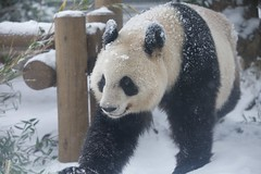 2014 02 08 (Copanda_) Tags: horizontal panda giantpanda  pandabear uenozoo   shinshin