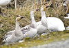 3 baby (SusanCK) Tags: geese snowgeese skagitvalleywashington susancksphoto