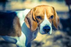 ¿Qué me ves? (luisgarcias) Tags: family toby beagle familia