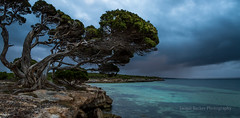 Twisted Tree & Storm Cloud (Jacqui Barker Photography) Tags: storm coast stormclouds gnarlytree twistedtree