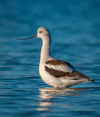 American Avocet (Happy Photographer) Tags: ocean california winter bird water missionbay avocet winterplumage happyphotographer amyhudechek
