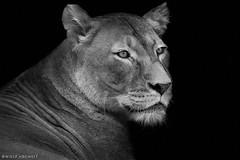 lioness portrait (Wolf Ademeit) Tags: portrait bw sony lion sigma lioness