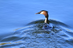 Head First (Karen Antcliffe) Tags: bird water great mating stretching grebe chasing creasted