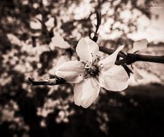 Les prmices du printemps . X20 . (AKromatiCK (FreeGuiGeek)) Tags: bw france flower macro tree nature fleur spring blossom bokeh nb bloom fujifilm arbre printemps 34 x20 fleury languedocroussillon languedocroussilon