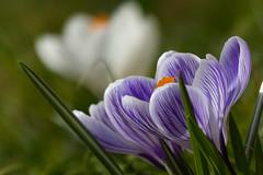 Crocus (evisdotter) Tags: flowers macro spring bokeh ngc crocus blommor krokus sooc impressedbeauty awesomeblossoms coth5 mygearandme mygearandmepremium mygearandmebronze mygearandmesilver