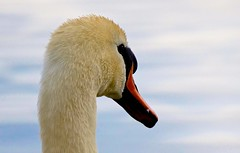 Mute swan (pettersson.pontus) Tags: skåne sweden sverige muteswan cygnusolor lomma knölsvan nikond7000 nikonnikkorafs200400mm14g
