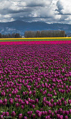 Tulip Festival (PJ Resnick) Tags: pink flowers trees light sky mountain color tree green texture nature colors leaves yellow clouds contrast digital canon catchycolors washington purple tulips 100mm pacificnorthwest usm pnw ef resnick laconnerwa 100mmmacro impressedbeauty 5dmarkii canon5dmarkii eos5dmarkll highspeediso ef100mmf28lusmmacro pjresnick pjresnick pjresnickgmailcom perryjresnick pjresnick