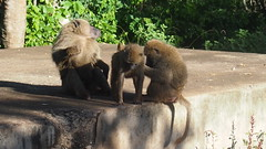 BABOON TENDERNESS