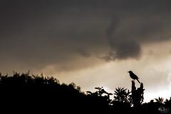 Cantor (Nando Verd) Tags: pose contraluz hojas lluvia alicante ave cielo nubes rbol nublado silueta pjaro elda cantante petrer