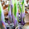 Emerging Hostas (linda_lou2) Tags: lilac mauve hosta squarecrop day126 lightpurple 365daysincolor 3652014 365the2014edition 06052014