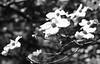 Dogwood Flower (wyojones) Tags: flowers blackandwhite bw white black tree garden spring texas houston np dogwood blooms grayscale springtime greyscale blooming bayoubend dogwoodflower imahogg wyojones bayoubendhouseandgardens