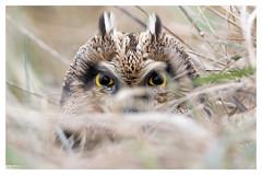 Hibou des marais (Asio flammeus)  Short-eared Owl 7D Mark II (Denis.R) Tags: france canon 300mm libre sauvage hibou shortearedowl asioflammeus hiboudesmarais denisr 7dmarkii denisrebadj