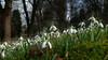 Schneeglöckchen - Erste Blütenwunder / Snowdrop - first flower miracle (Wolfgang's digital photography) Tags: natur wiese panasonic makro frühling blüten fz50 schneeglöckchen