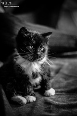 (Joshua Wells Photography) Tags: cats cute fun fight kitten little fat fluffy cutie tiny momma