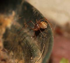 Spotted Spider (ron_n_beths pics) Tags: arachnids westernaustralia perthbushlands