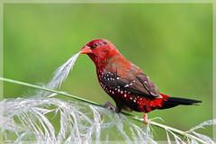 Red avadavat male (Gurusan2010) Tags: