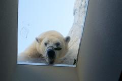 (Copanda_) Tags: polarbear dea  uenozoo
