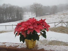 Poinsettia in the snow ... (october blue (away)) Tags: vanagram
