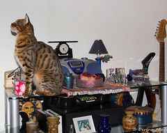 Bengal Cat (derena_d.) Tags: dinner cat exercise time rocky cage hungry predator fitness bengal dinnertime pullups bengalcat redredrose lookingfordinner cagehanger keepfitforcats