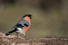 Bullfinch (Explored) (Gareth Keevil) Tags: winter wild detail sunshine birds yorkshire bullfinch nikond810 nikon200400mm rspboldmoor garethkeevil