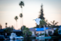 Lots of these guys joined us for wakeboarding in Navato (khouryp23) Tags: california white lake bird flying san francisco crane fowl stork