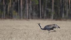 Grus grus (Wanha-Erkki, Old Eric, Gammal Erik, ) Tags: crane grue mets trane grulla suo grusgrus trana kurki bokehforest kosteikko