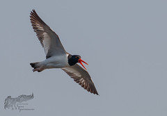American Oystercatcher 5_26 (krisinct- Thanks for 12 Million views!) Tags: canon 500 f4 80d