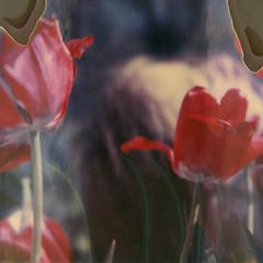 fading behind the tulips (Britt Grimm) Tags: flowers selfportrait blur film vintage garden polaroid sx70 spring tulips girly ghost instant expired springtime ophelia timezero redtulips expiredfilm instantphotography flowerfield polaroidsx70 instantfilm filmisnotdead polaroidtimezero artisticblur artblur snapitseeit