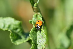Ladybug....looking for the road (only_sepp) Tags: ngc insetti coccinelle allaperto allnaturesparadise