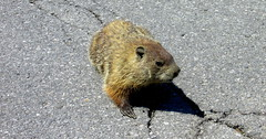 (timetomakethepasta) Tags: road new york shadow nature mammal rodent wildlife mother woodchuck roadside